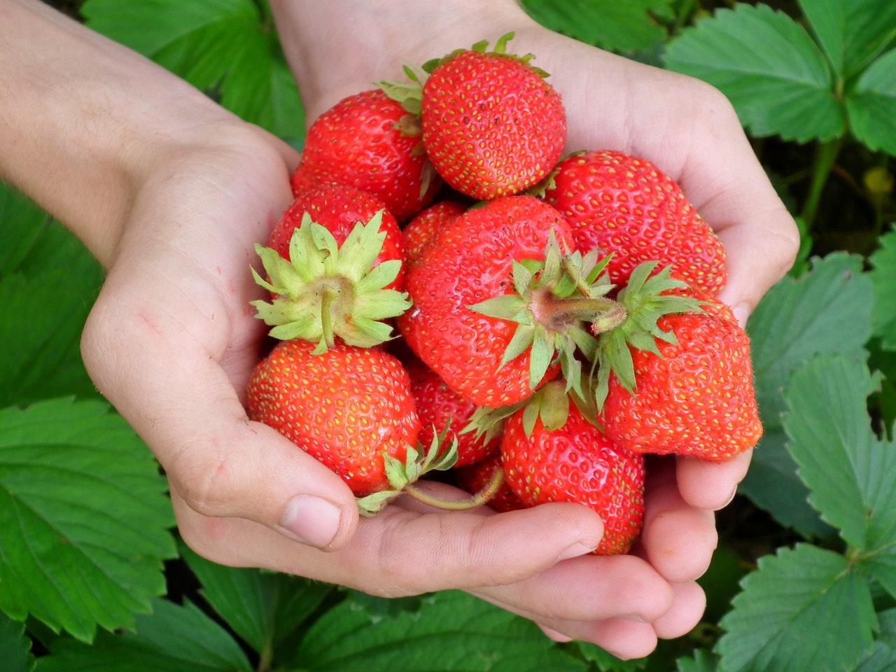Sladké jahody, nejsou dílem náhody